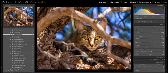 A wildlife photographer picture of an African Wildcat in a ca,elthorn tree edited Lightroom CC