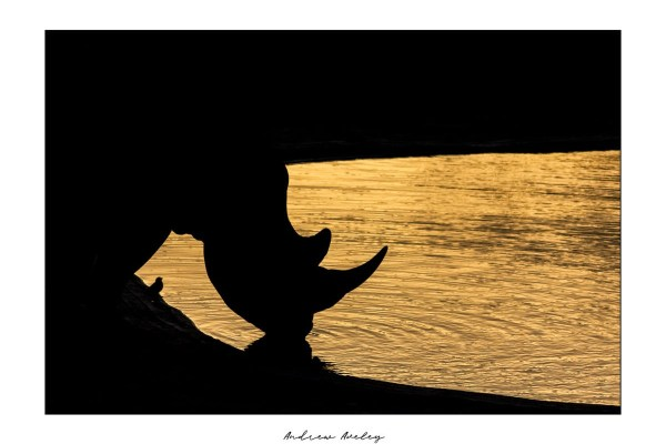 The little bird - Rhino Fine Art Print by Andrew Aveley - purchase online