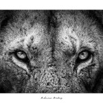 Full Contact - Fine Art lion Print by Andrew Aveley - purchase online