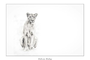 Queen of Madikwe - Fine Art lion Print by Andrew Aveley - purchase online