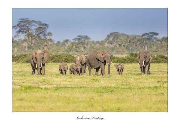 Amboseli Family- Elephant Fine Art Print by Andrew Aveley - purchase online
