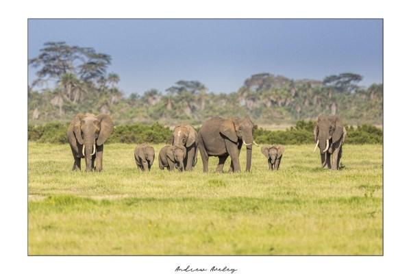 Amboseli Family- Elephant Fine Art Print by Andrew Aveley - purchase online