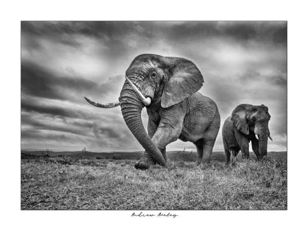 The Bull - Elephant Fine Art Print by Andrew Aveley - purchase online