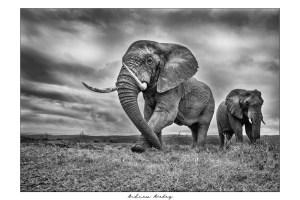 The Bull - Elephant Fine Art Print by Andrew Aveley - purchase online