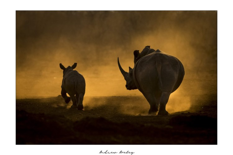 Walking Away - Rhino Fine Art Print by Andrew Aveley - purchase online