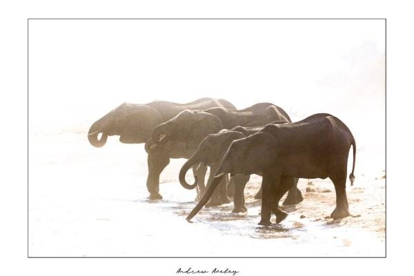 Burning Light - Elephant Fine Art Print by Andrew Aveley - purchase online