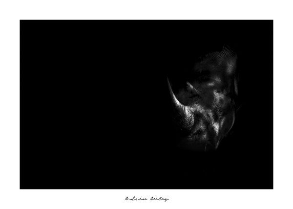 In the Darkness - Rhino Fine Art Print by Andrew Aveley - purchase online
