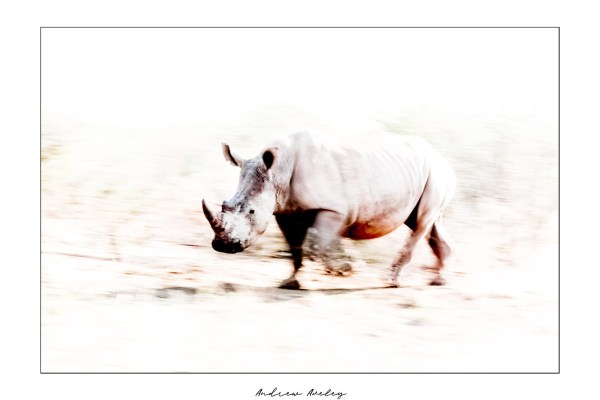 Art in Motion - Rhino Fine Art Print by Andrew Aveley - purchase online