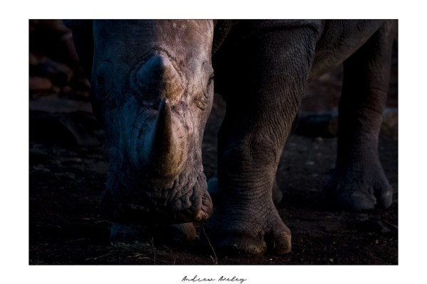 Rhino Light - Rhino Fine Art Print by Andrew Aveley - purchase online