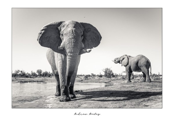 Mopani Giant 3 - Elephant Fine Art Print by Andrew Aveley - purchase online