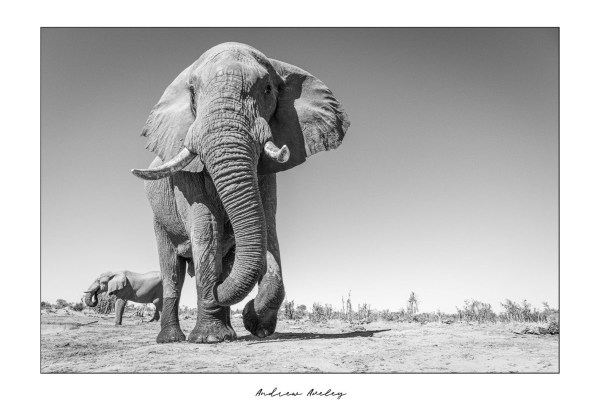 Mopani Giant 1 - Elephant Fine Art Print by Andrew Aveley - purchase online
