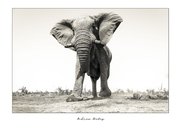 Domination - Elephant Fine Art Print by Andrew Aveley - purchase online