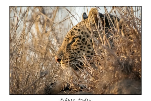 Eye Level - Leopard Fine Art Print by Andrew Aveley - purchase online