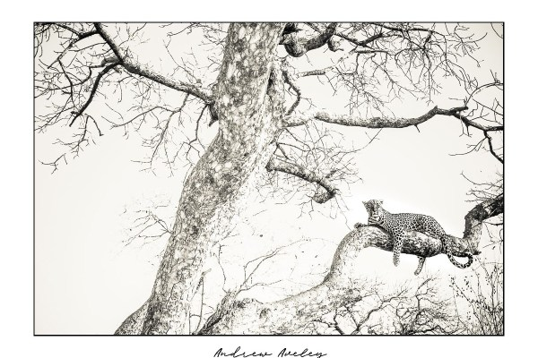 Vantage Point - Leopard Fine Art Print by Andrew Aveley - purchase online