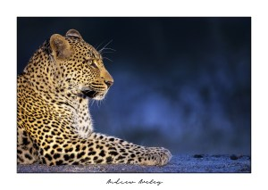Blue - Leopard Fine Art Print by Andrew Aveley - purchase online
