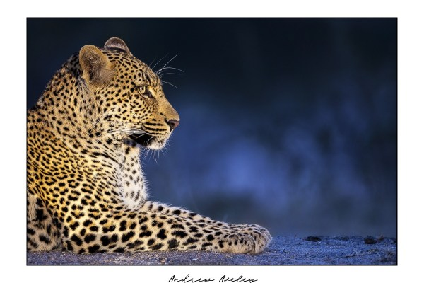 Blue - Leopard Fine Art Print by Andrew Aveley - purchase online