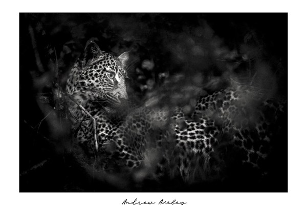 Hidden Hunter - Leopard Fine Art Print by Andrew Aveley - purchase online