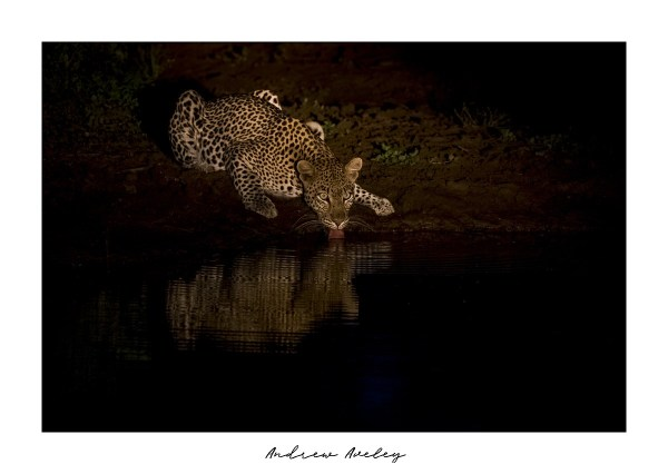 Reflections - Leopard Fine Art Print by Andrew Aveley - purchase online