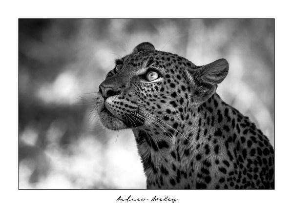 Dappled Light - Leopard Fine Art Print by Andrew Aveley - purchase online