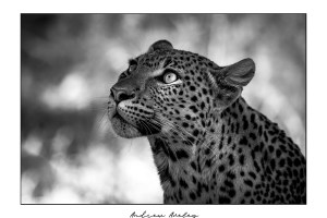 Dappled Light - Leopard Fine Art Print by Andrew Aveley - purchase online