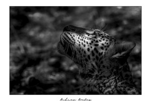 Young Queen - Leopard Fine Art Print by Andrew Aveley - purchase online