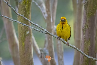 Canon EF Lens and R6 for great bird photography Masked weaver