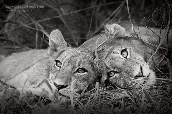 Black and white fine art photo of lions in Africa by Andy Biggs