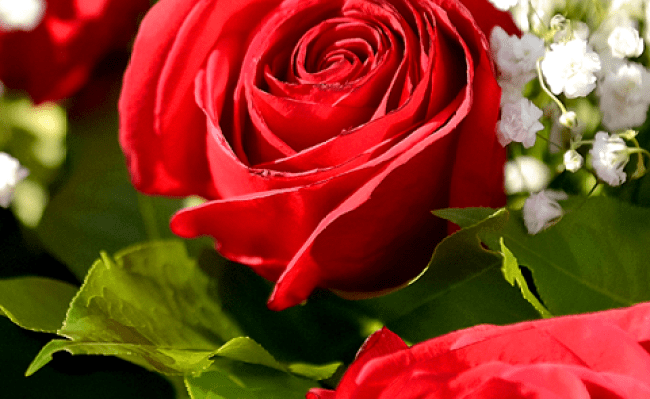 Rose Live Wallpapers Android App Free Apk By Blue Jay Soft