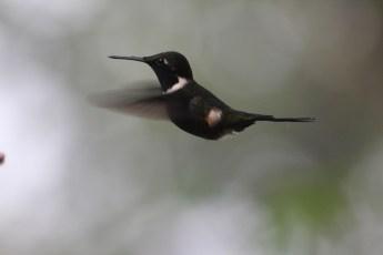 Kolibri in Mindo