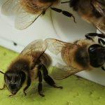 Honeybee Drone Mating