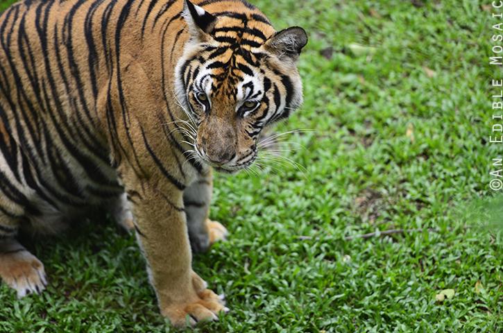 Tiger Kingdom 11