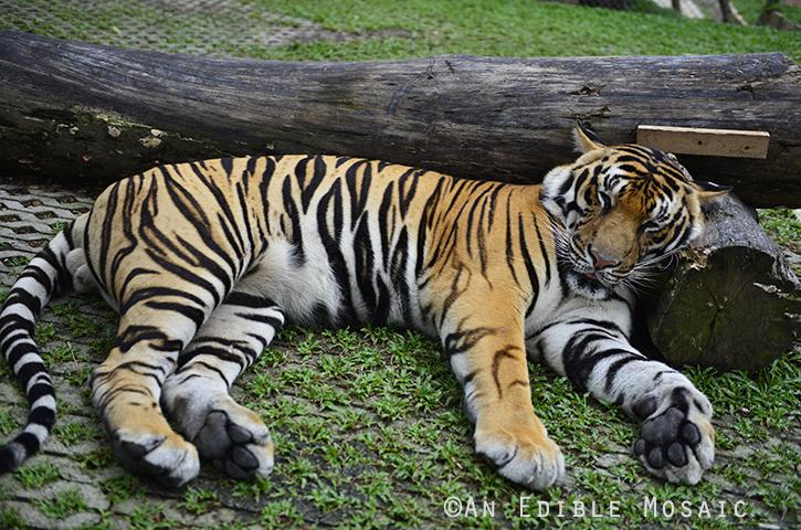 Tiger Kingdom 17