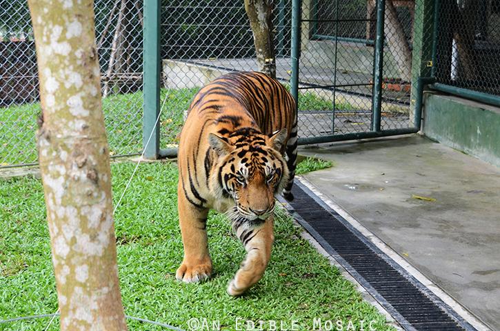 Tiger Kingdom 6