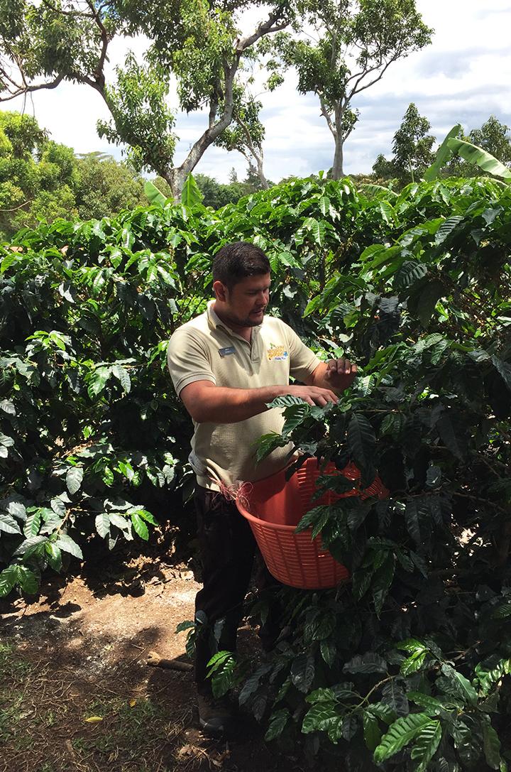 Coffee Plantation 1