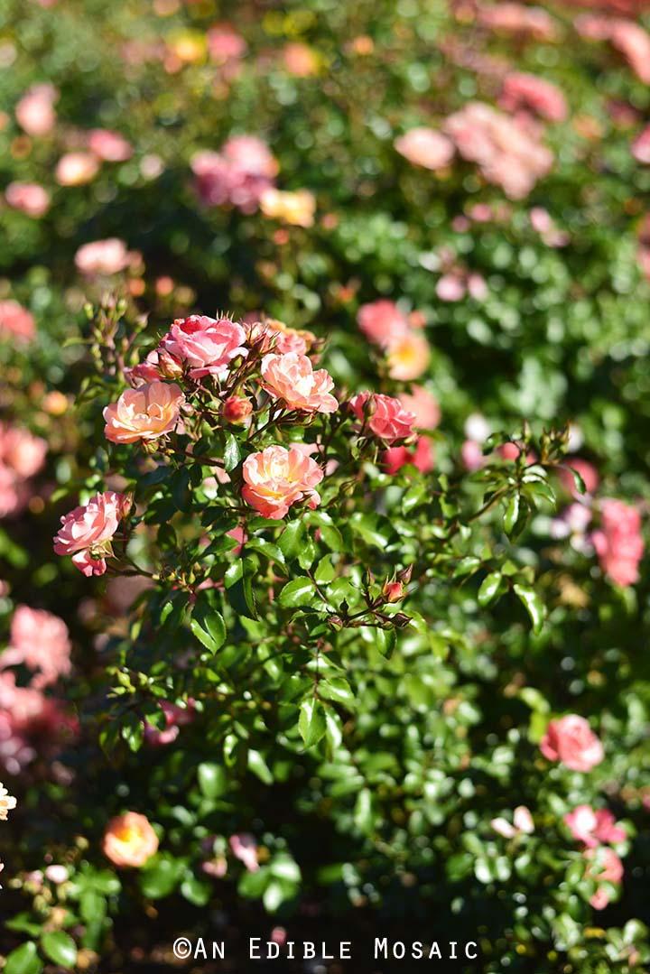 Roses at Epcot