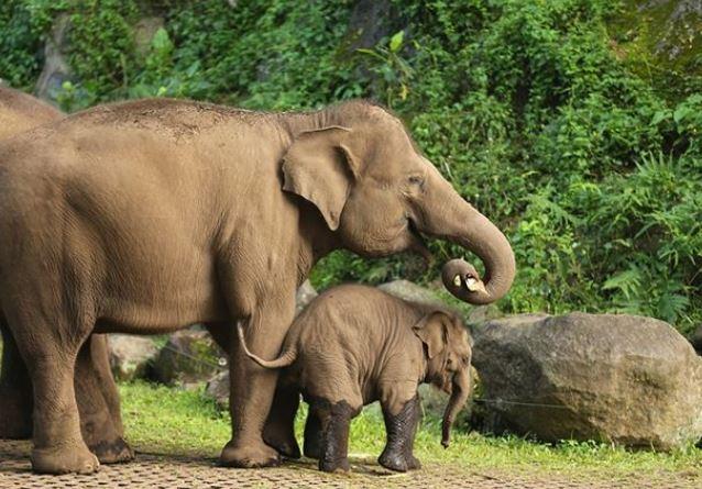 Bayi gajah dan induknya di Taman Safari Prigen