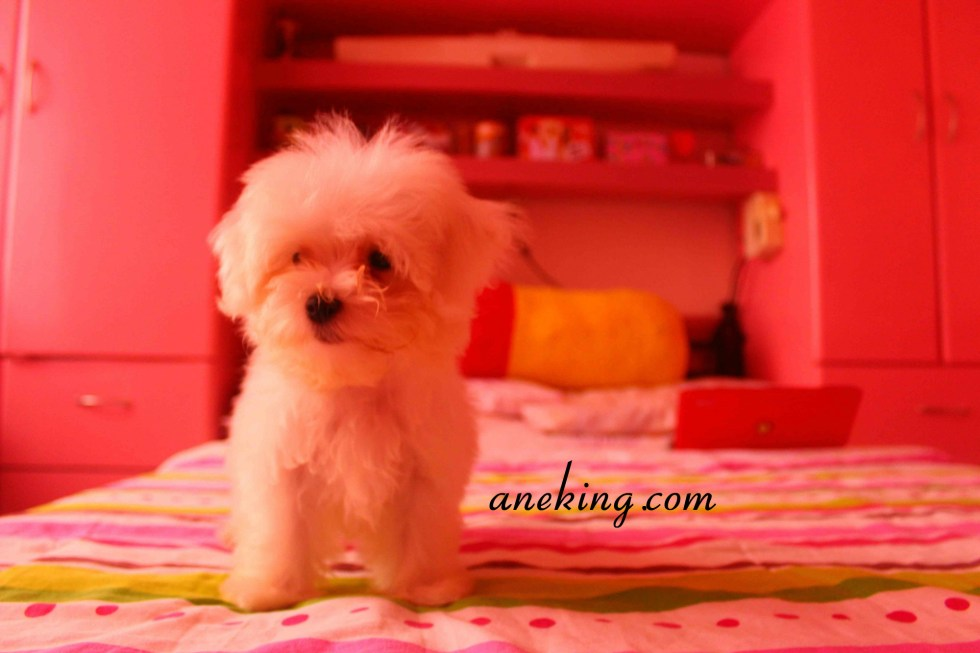 Maltese Dog of Joy