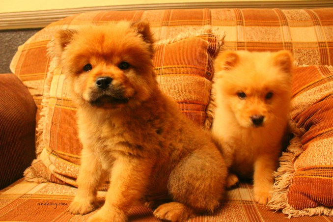 Chow Chow The Walking Teddy Bear