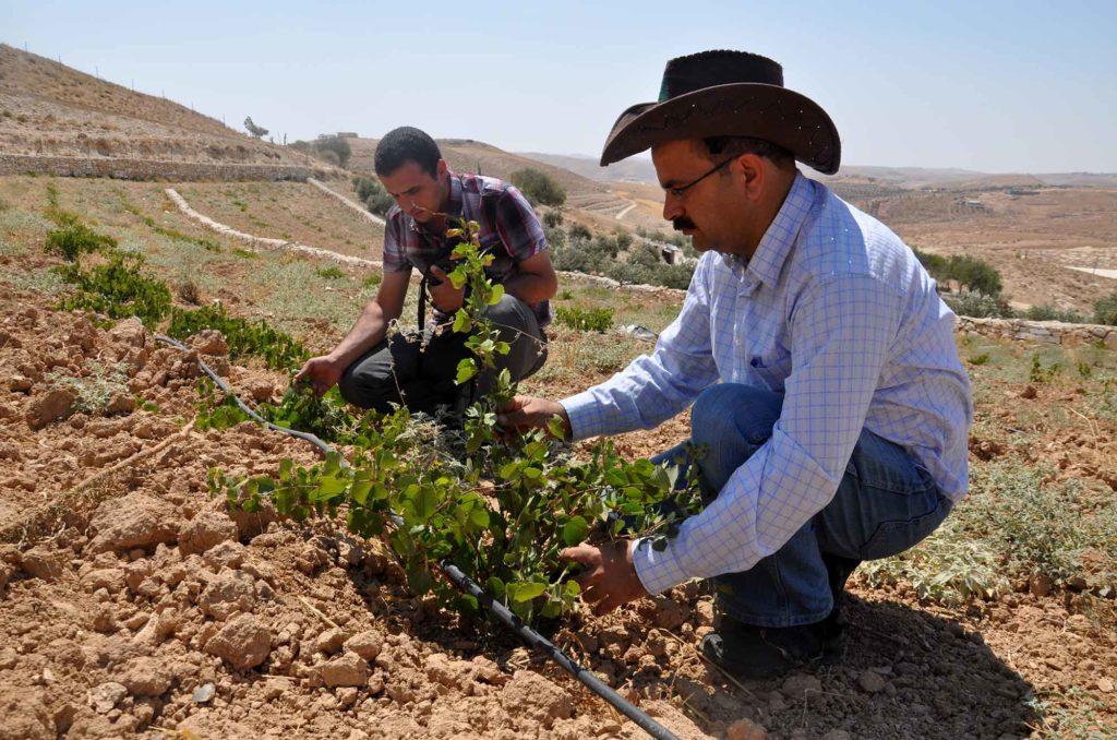 Anera agronomist Naser Qadous inspects grape vines on a West Bank farm.