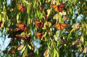 St.-Marks-Monarch-Butterfly-Festival