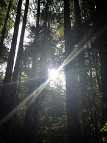 Hints of green appear as the sun finds an opening to shine into a forest of tall trees.