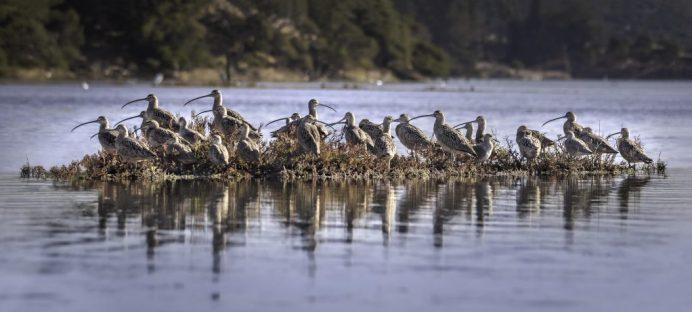 Curlew Flock Elkhorn Slough