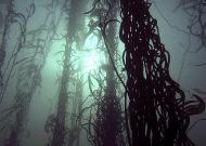 Bosque de Laminariales