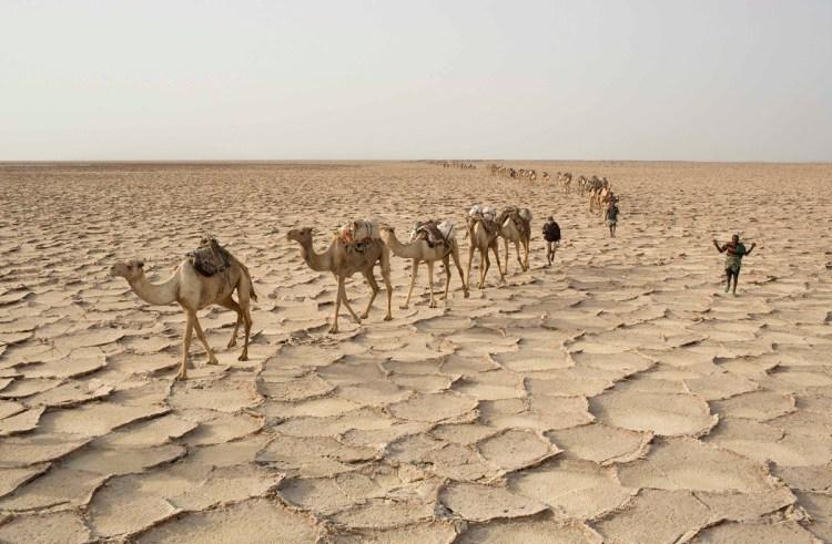 Camellos en las minas de sal de Danakil