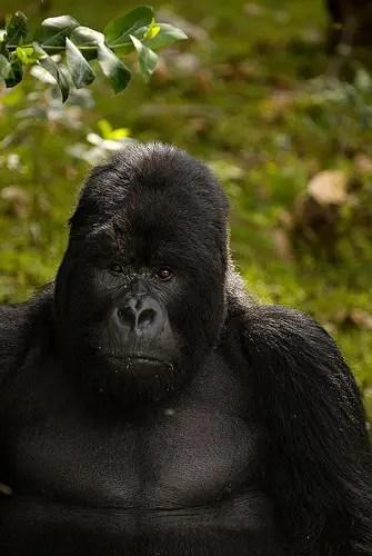 Gorila espalda plateada en Ruanda