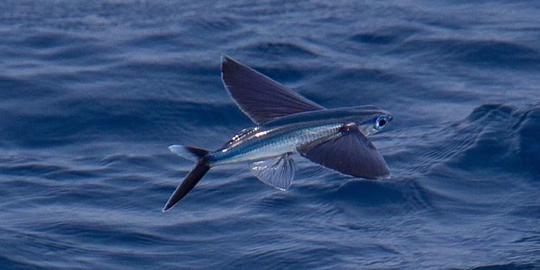 Pez volador perteneciente a la familia de las Exocoetidae.