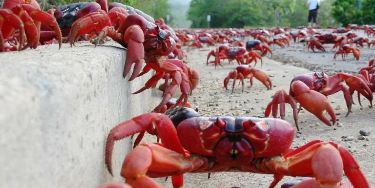 Invasión de cangrejos en la Isla Navidad, la migración más colosal