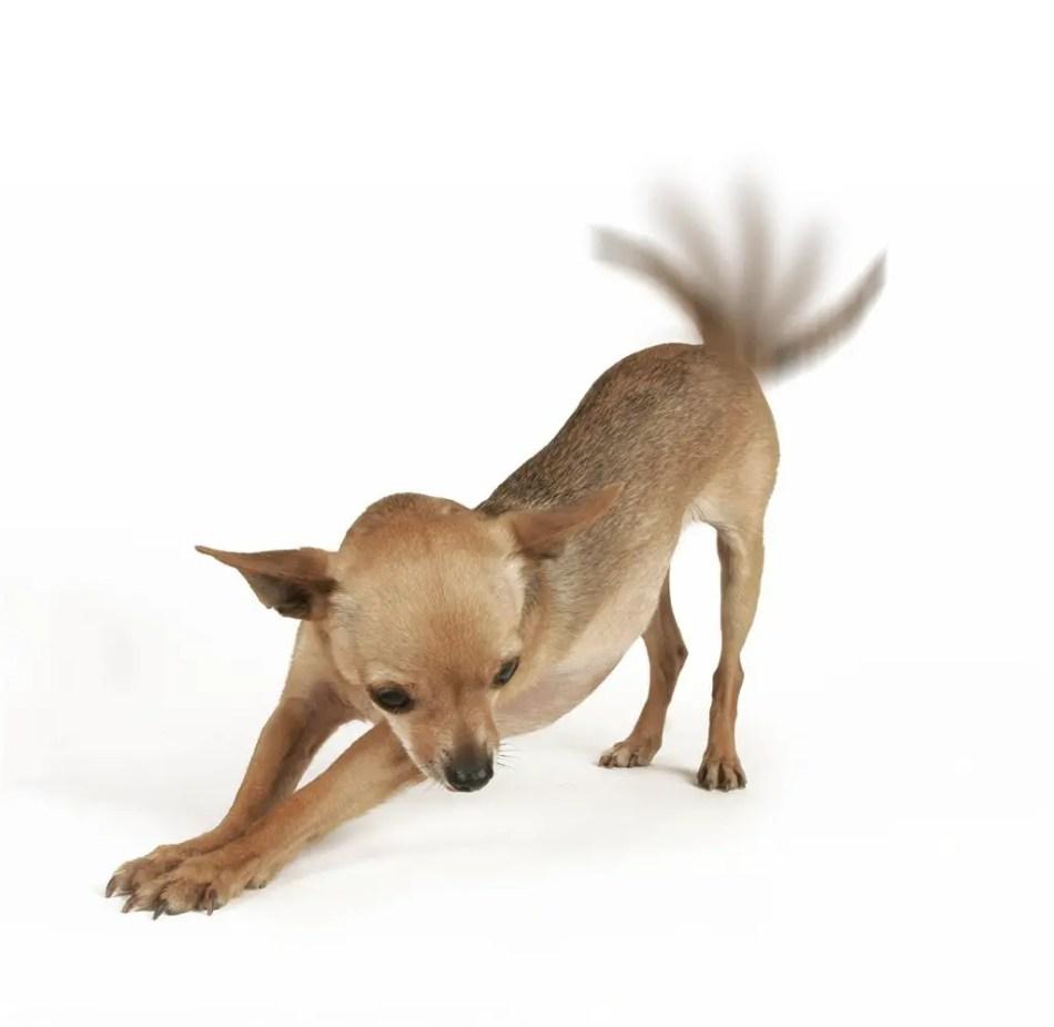 Detalle de un perro chihuahua meneando su cola.