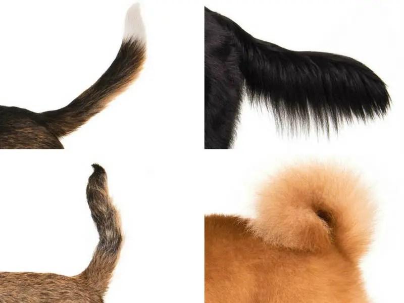 Distintos tipos de colas de perros.