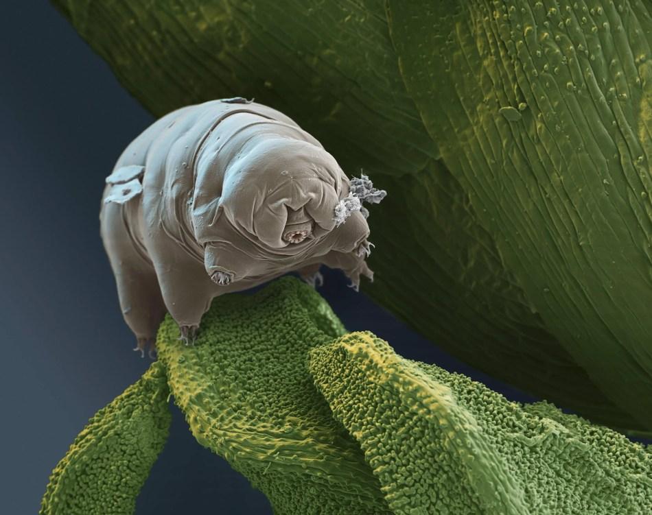 Imagen de un Tardigrado. Los tardigrados pueden resistir condiciones extremas.